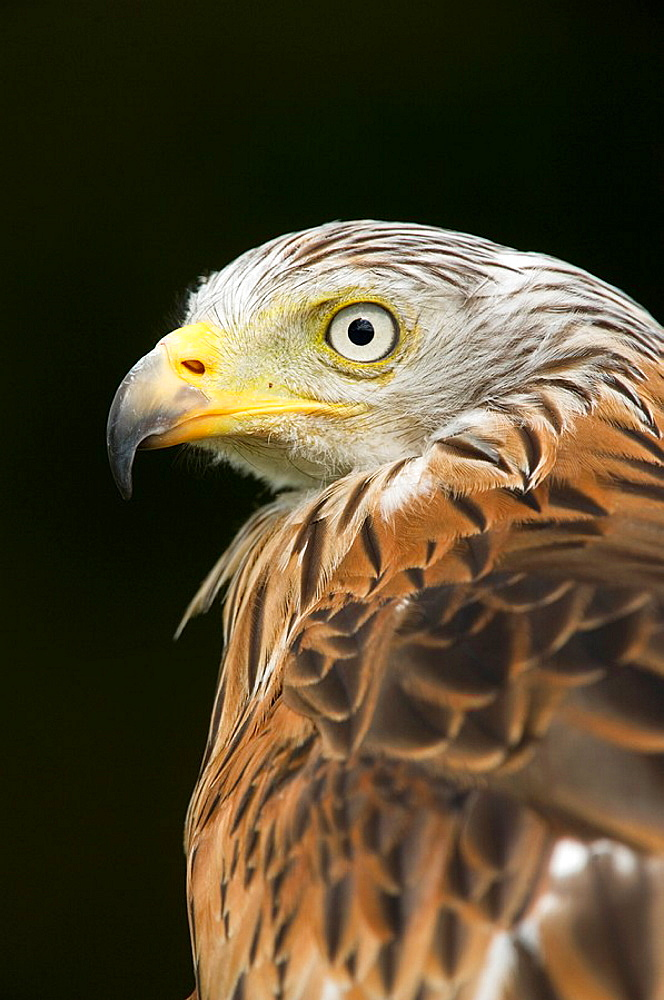 Red kite Milvus milvus close-up portrait of adult Captive July 2009