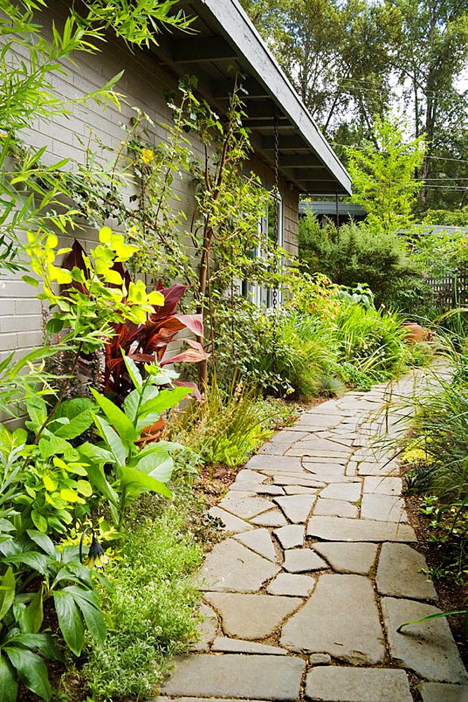 Curving flagstone path through narrow entryway garden [Canna cv.; Fremontodendron californicum; Cotinus coggygria 'Gold Spirit'], McEwan, Bellevue, Washington, USA
