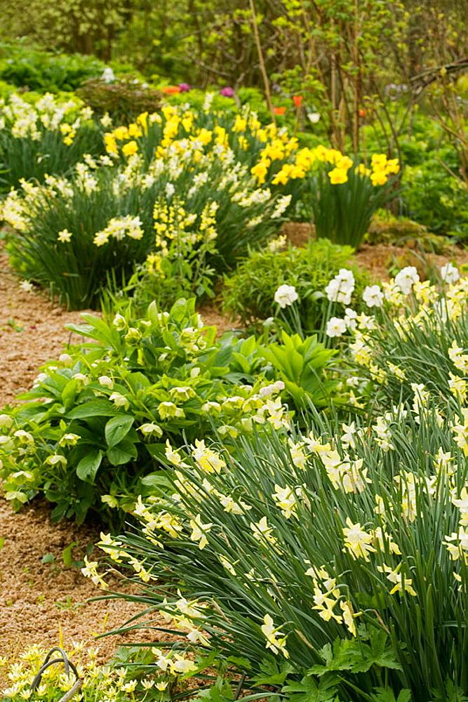 'Pipit' Daffodils & Hellebores in perennial border (Narcissus 'Pipit'; Helleborus x hybridus), Bellevue Botanical Garden, WA.