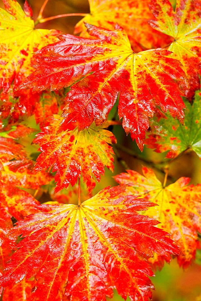 Fullmoon Maple foliage detail, autumn (Acer japonicum), Vancouver, UBC Botanical Garden, BC. - 817-107326
