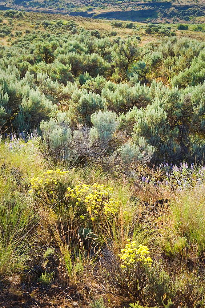 Sagebrush and wildflowers in dry wash, Columbia Plateau