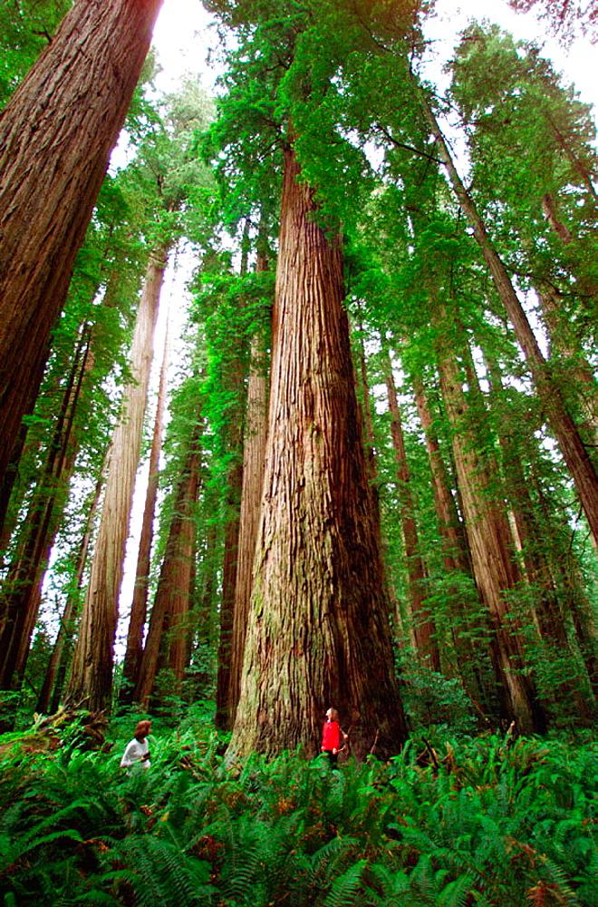 Giant Redwoods, Stout Grove, Jedediah Smith Redwoods State Park, California, USA