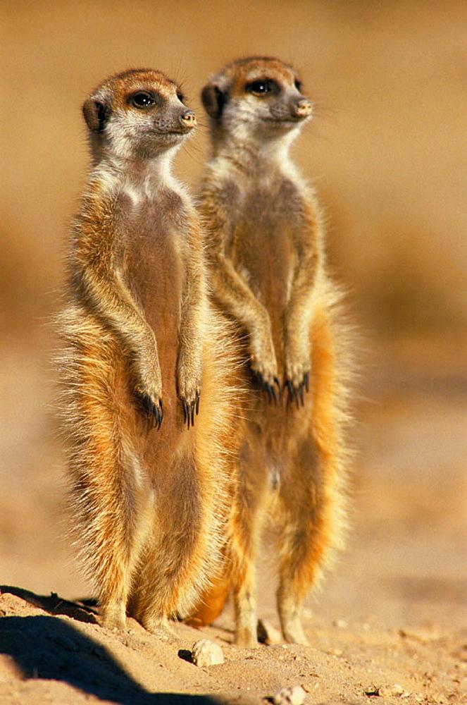 Suricates (Suricatta suricatta), Kalahari-Gemsbok National Park, South Africa - 817-10786