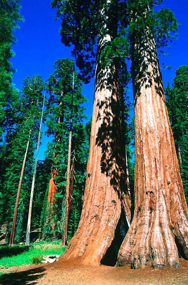 Giant Redwood (Sequoiadendron giganteum), Yosemite National Park, California, USA