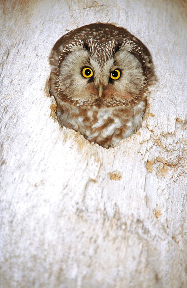 A Tengmalm's owl (Aegolius funereus) looks out from its nesting box, Byske, Vasterbotten, Sweden