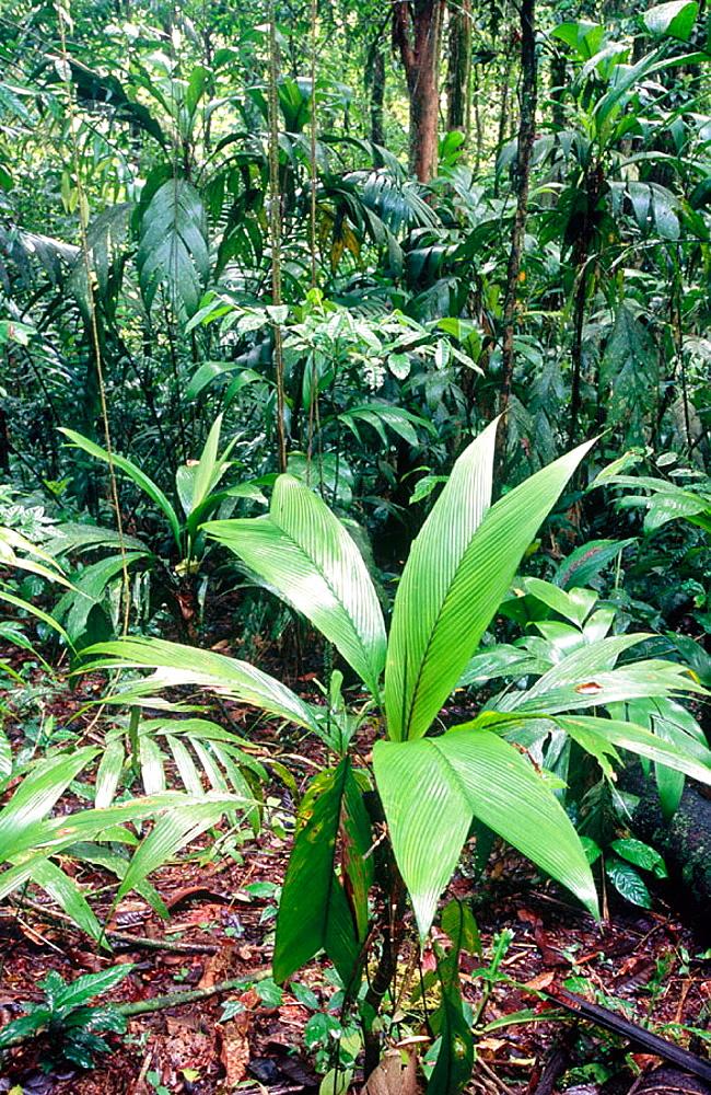 Interior from the rainforest, La Selva, Costa Rica