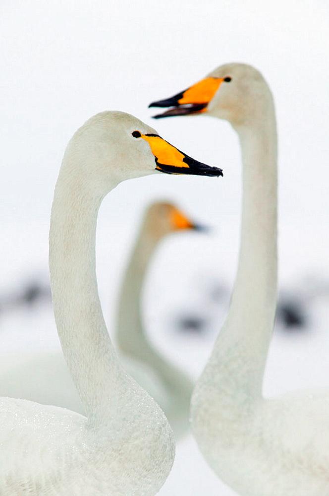 Whooper swan (Cygnus cygnus), winter, Sweden