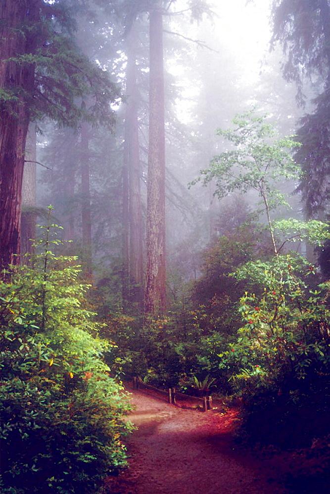 Redwood NP, California, USA