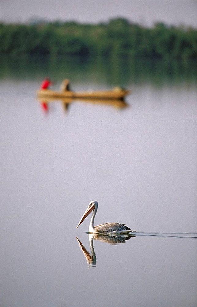 Pink-backed Pelican (Pelecanus rufescens) on Gambia river, Gambia