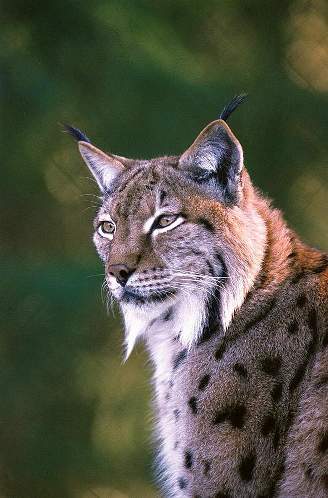 Lynx (Felis lynx), Lohberg Bavarian Forest, Germany