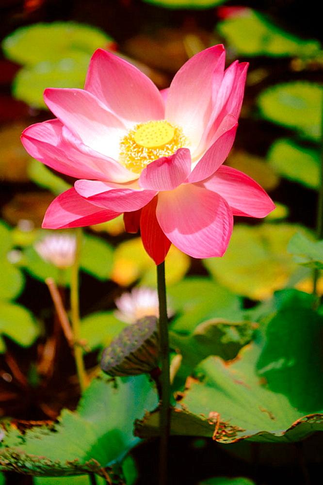 Indian Lotus Flower (Nelumbo nucifera)