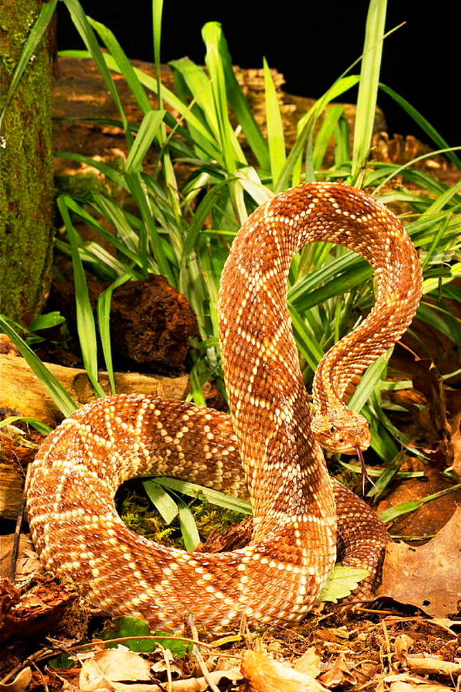 South American Rattlesnake (Crotalus durissus terrificus)