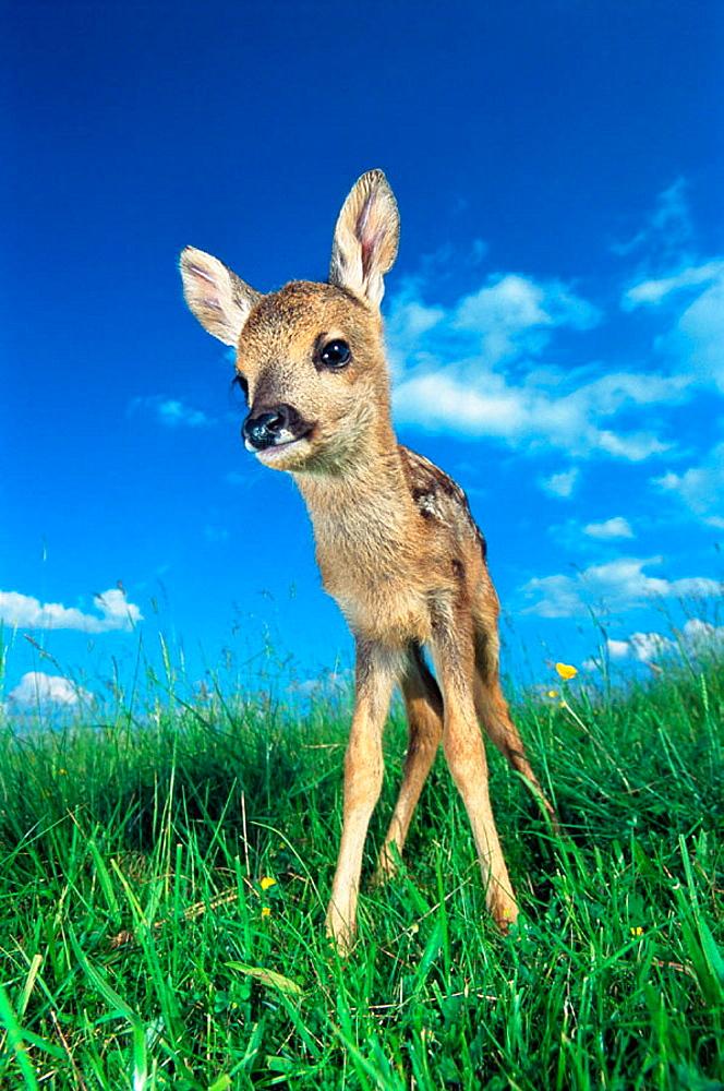 Roe deer fawn (Capreolus capreolus), Bavaria, Germany