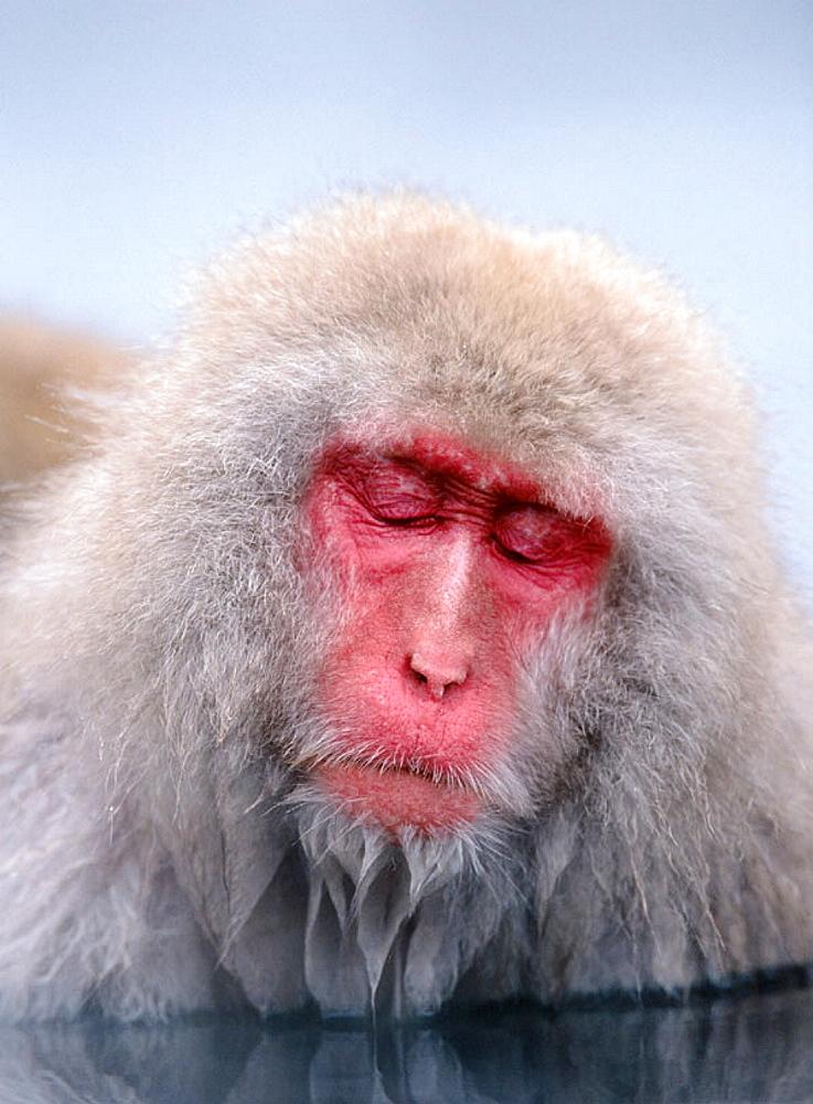 Japanese macaque (Macata fuscata), Japan. - 817-12055