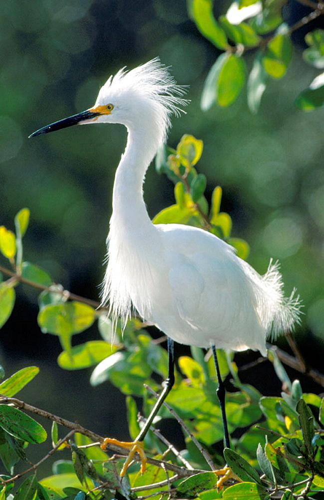 Snowy Egret (Egretta thula), Everglades National Park, Florida, USA (february)