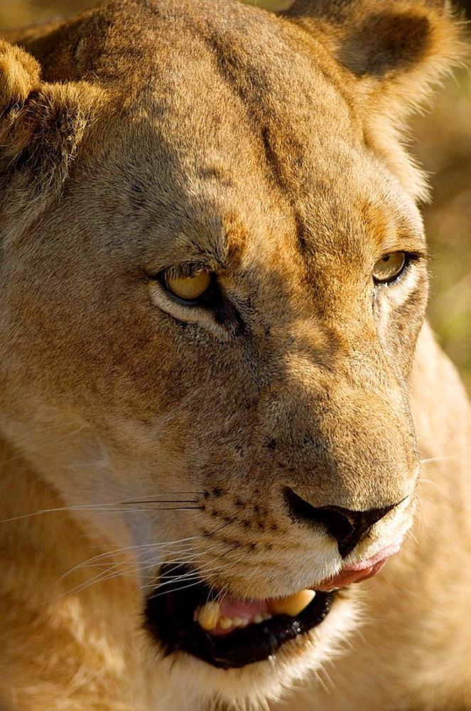 Lioness, Busanga Plains, Kafue National Park, Zambia