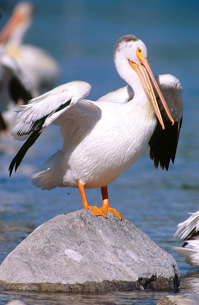 American White Pelican (Pelecanus erythrorhynchos), Fairford, Manitoba, Canada