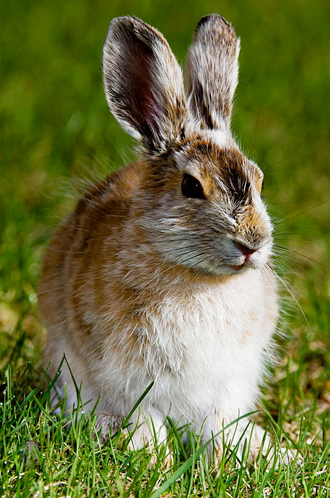 Varying hare, (Lepus americanus), Transitional pelage, grazing on lawn