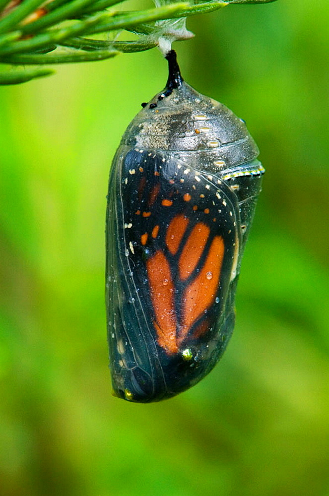 Monarch butterfly (Danaus plexippus) Late stage chrysallis- Adult about to emerge, Lively, Ontario, Canada