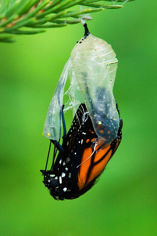 Monarch butterfly (Danaus plexippus) Adult emerging from chrysallis, Lively, Ontario, Canada