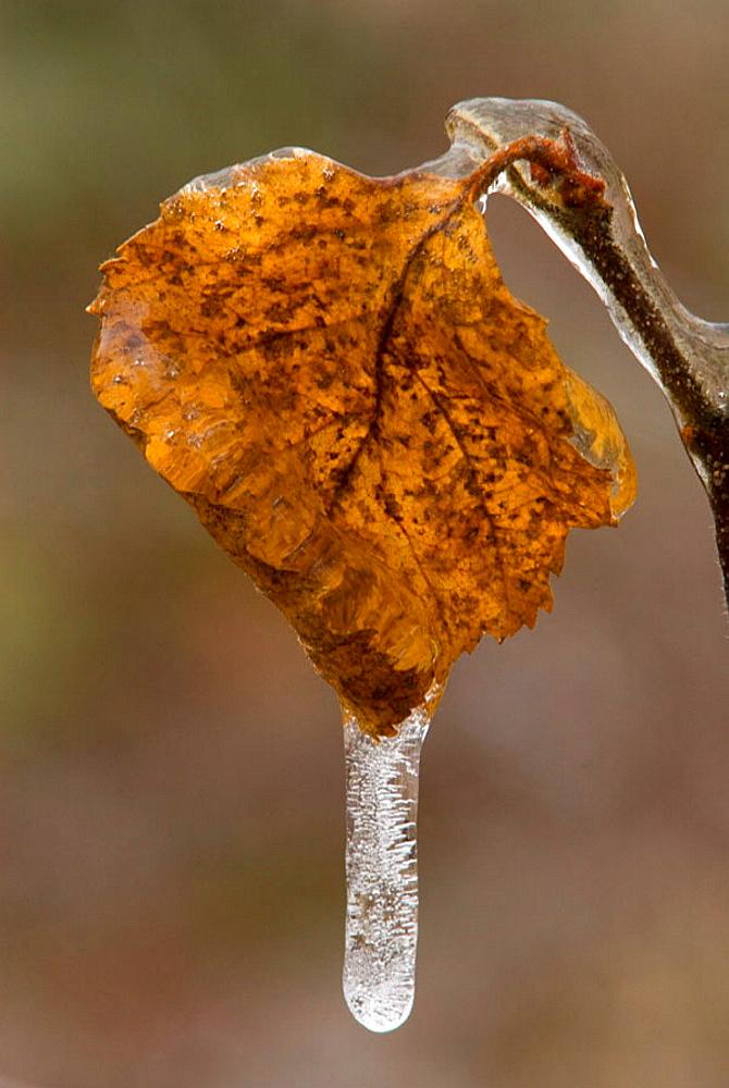 White birch (Betula papyrifera)_ Dead leaf with a coating of freezing rain ice