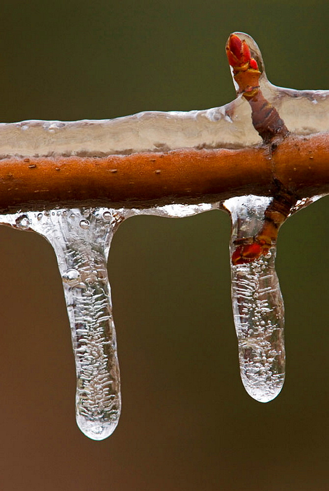 Ornamental maple (Acer spp) twig with a coating of freezing rain ice