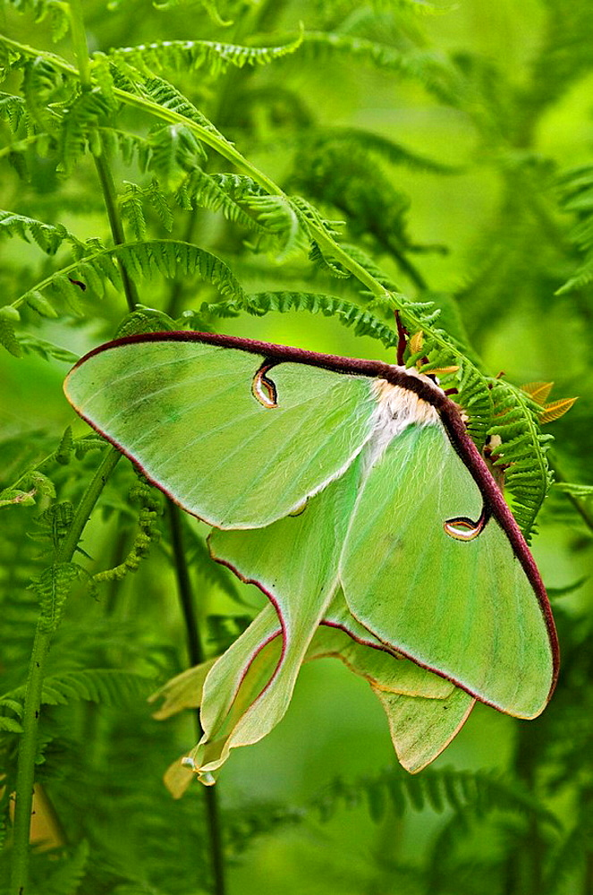Luna moth (Actias luna), mating pair among hay-scented ferns - 817-123478