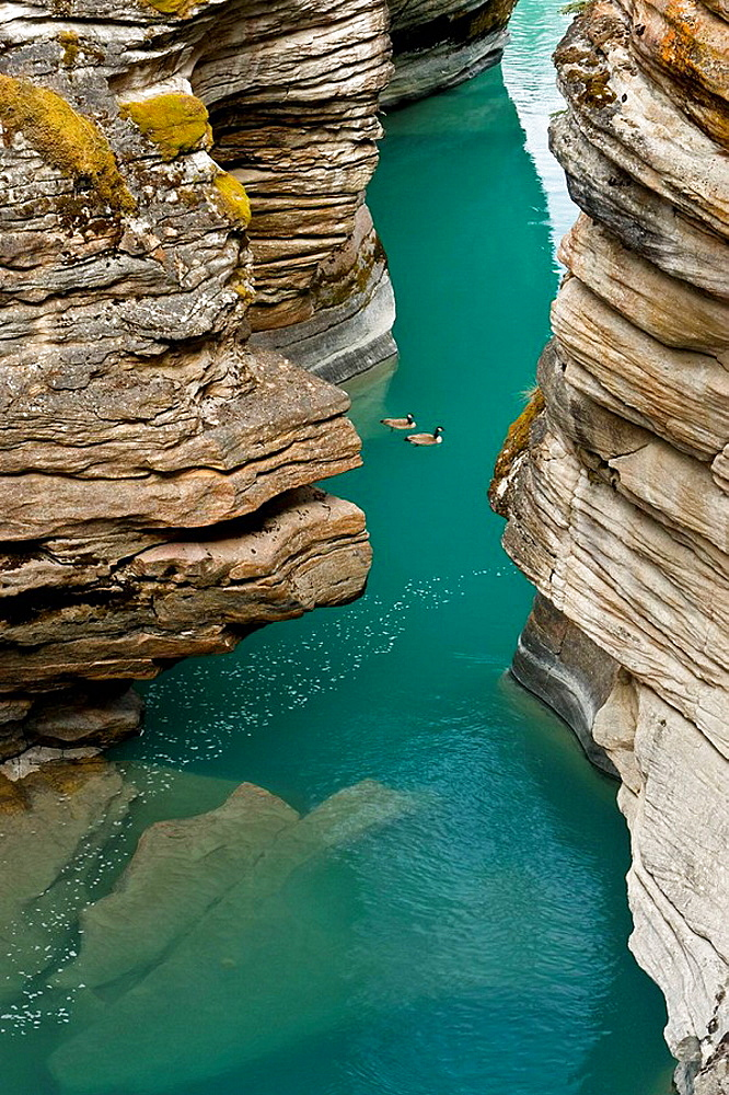 Athabasca River gorge with migratory Canada geese, Jasper National Park, Alberta