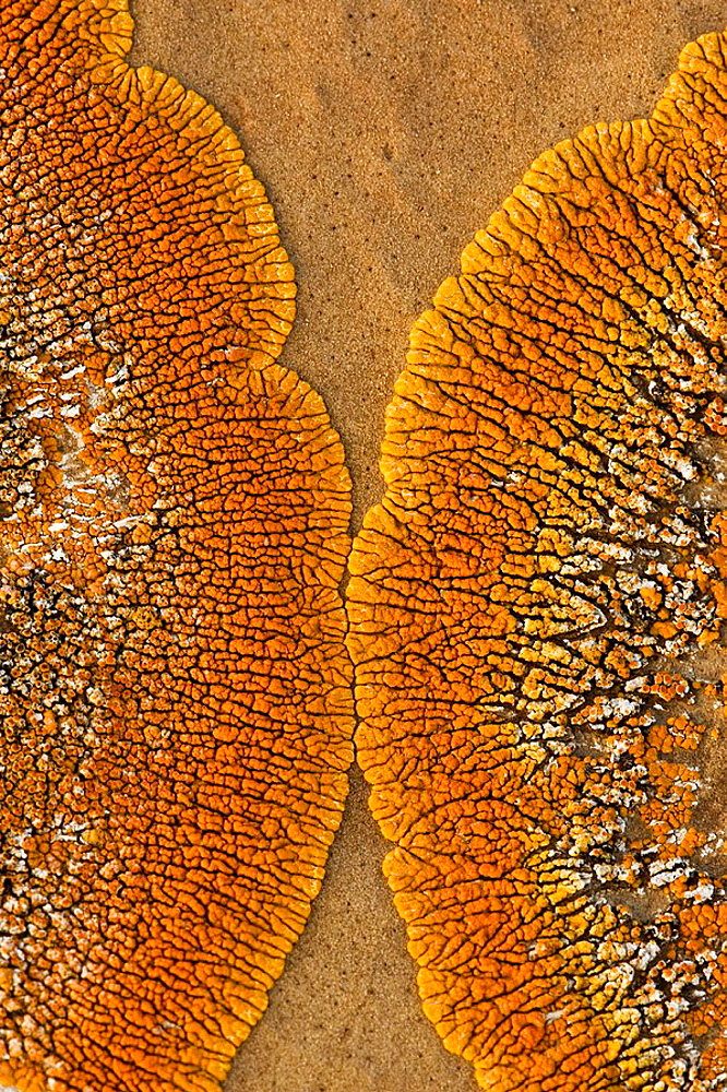 Orange lichen colony on sandstone concretion boulder face