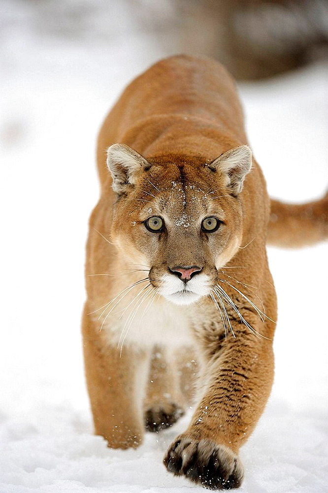 Cougar, Mountain lion Felis concolor captive in winter habitat