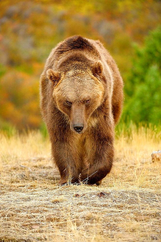 Grizzly bear Ursus arctos- captive in autumn setting