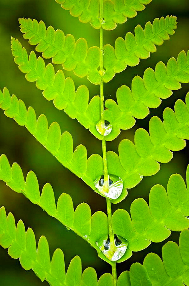 Interrupted fern Osmunda claytoniana Frond with raindrops