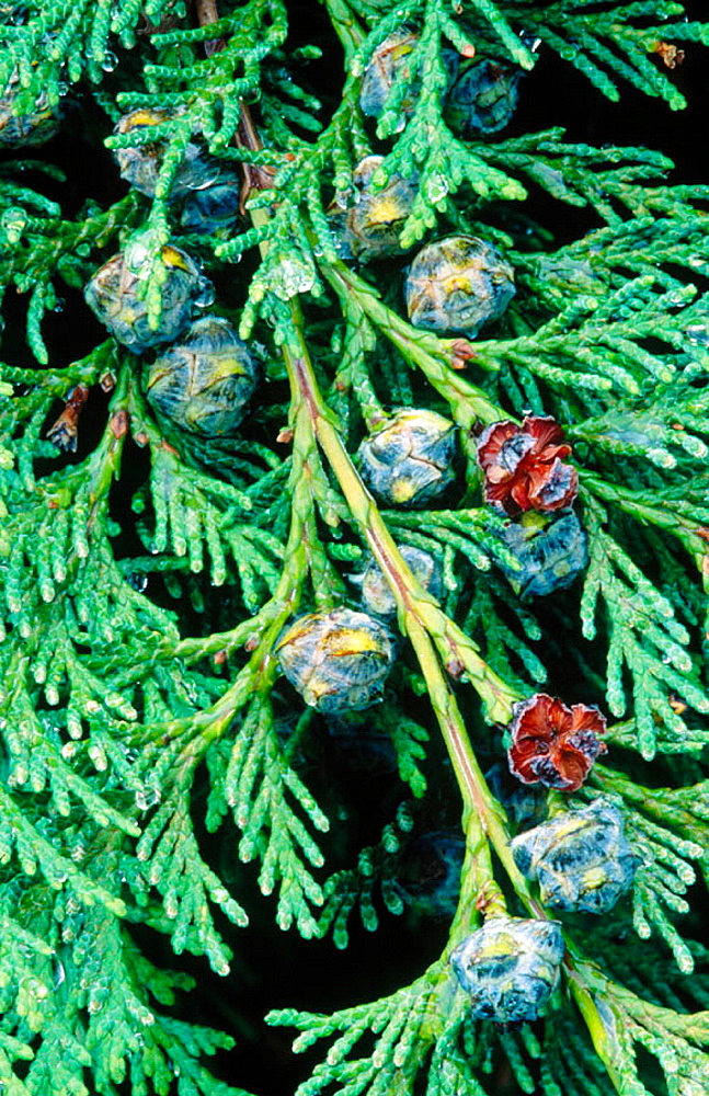 Port Orford Cedar (Chamaecyparis lawsoniana) bough with cones, Southern Oregon Coast, USA