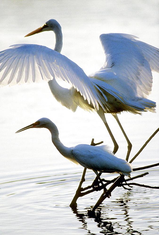 Herons, Florida, USA