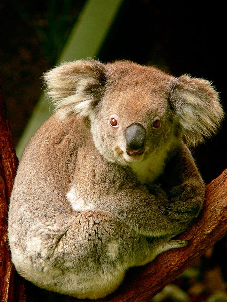 Koala (Phascolarctos cinereus), Sydney, Australia
