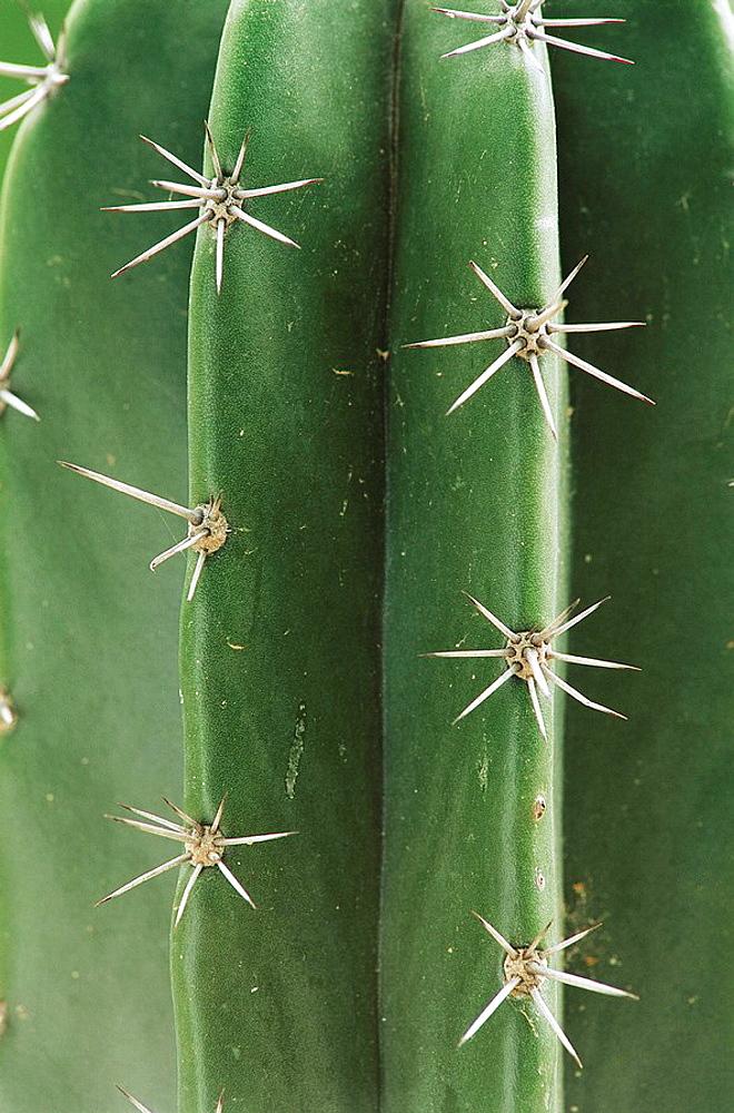 Golden Saguaro cactus (Neobuxbaumia polylopha), detail, Texas, USA - 817-12630