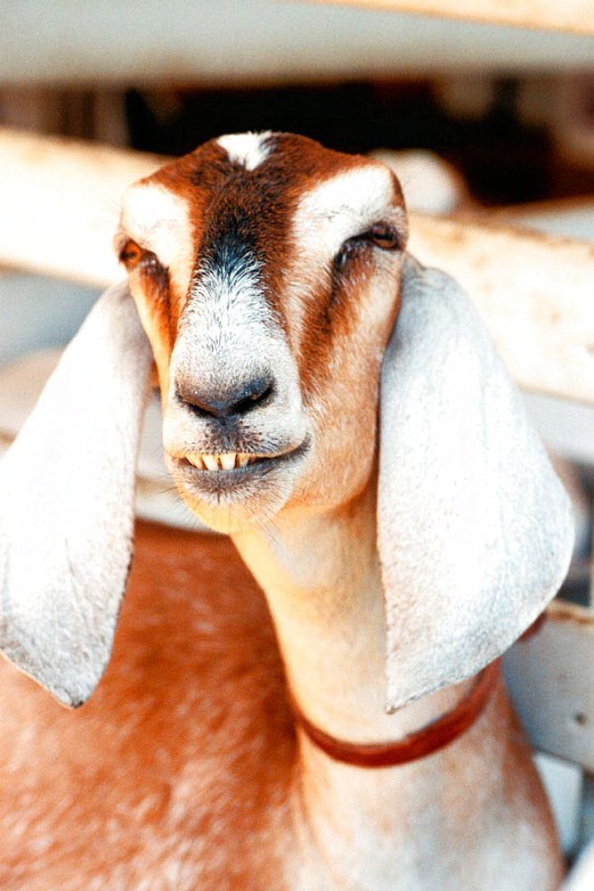 Nubian goat - 817-127036