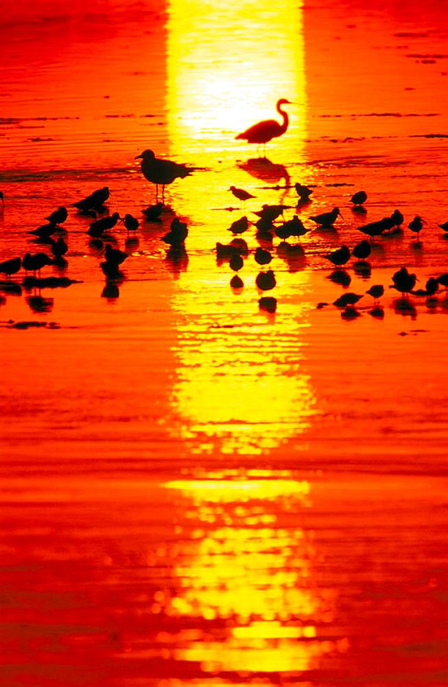 Wading birds at sunset, Sanibel Island, Florida, USA - 817-127807