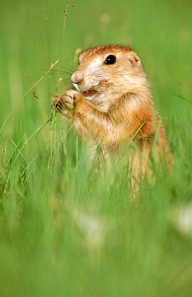 Black-tailed Prairie Dog (Cynomys ludovicianus), Badlands National Park, South Dakota, USA