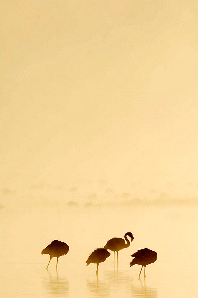 Lesser Flamingos (Phoenicopterus minor) at sunrise on a foggy morning, Lake Nakuru, Kenya