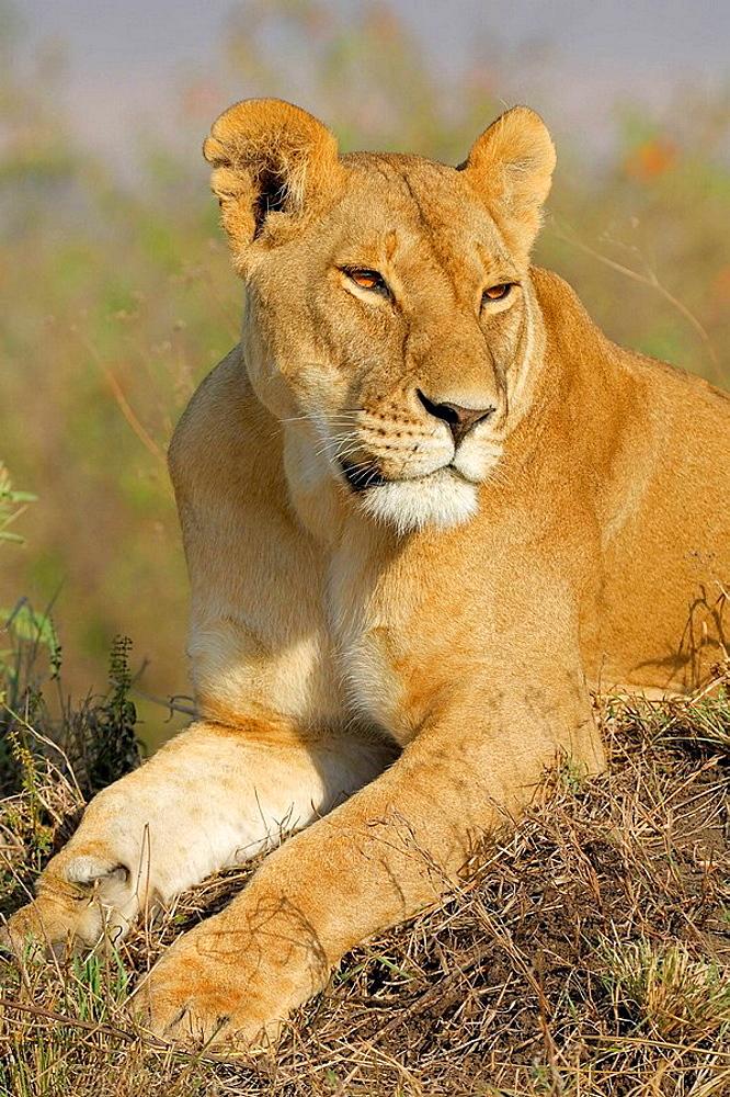 Lioness (Panthera leo), resting on a termite mound, Massai Mara, Kenya