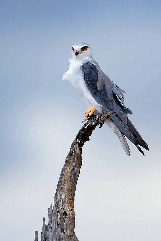 Black-shouldered Kite (Eleanus caeruleus), Massai Mara, Kenya