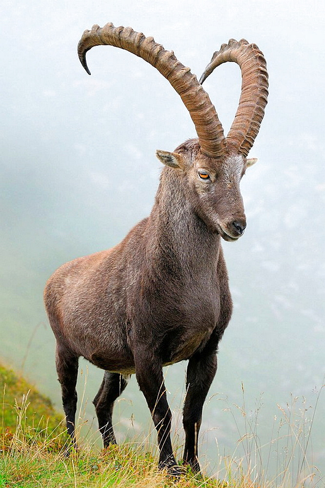 Alpine Ibex (Capra ibex), male/buck, Niederhorn, Switzerland