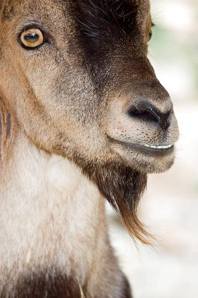 Rock Goat (Capra ibex), Parque Natural Sierras de Tejeda y Almijara, Malaga province, Spain