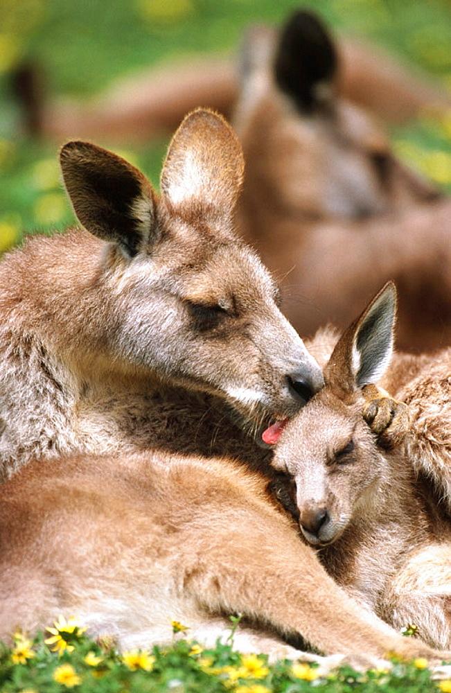 Grey Kangaroo (Macropus giganteus), Australia