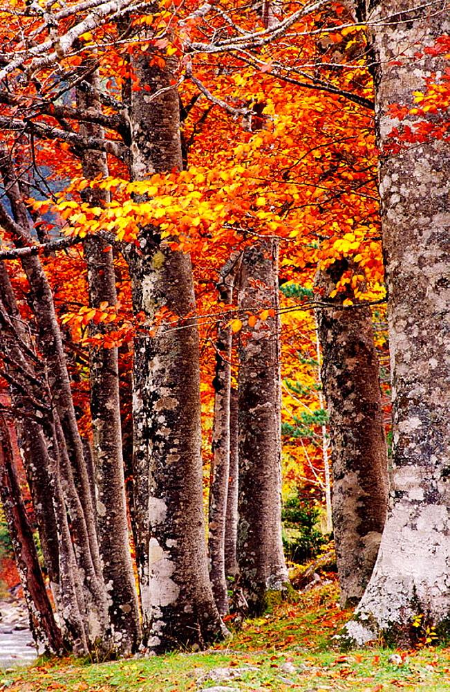 Beech trees wood (Fagus Sylvatica), Ordesa Valley, Ordesa NP and Monte Perdido, Pyrenees, Huesca province, Aragon, Spain