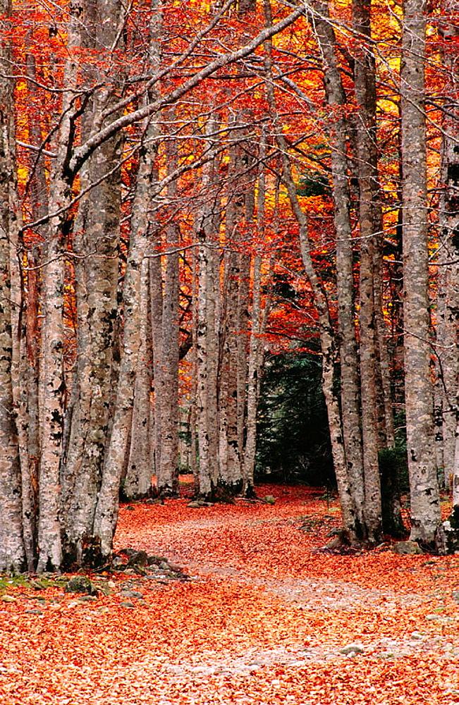 Beechwood (Fagus Sylvatica), Anisclo Valley, Ordesa NP and Monte Perdido, Pyrenees, Huesca province, Aragon, Spain