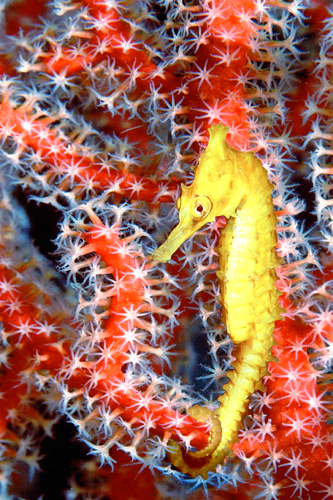 Thorny Seahorse (Hippocampus histrix), Great Barrier Reef, Australia - 817-13800