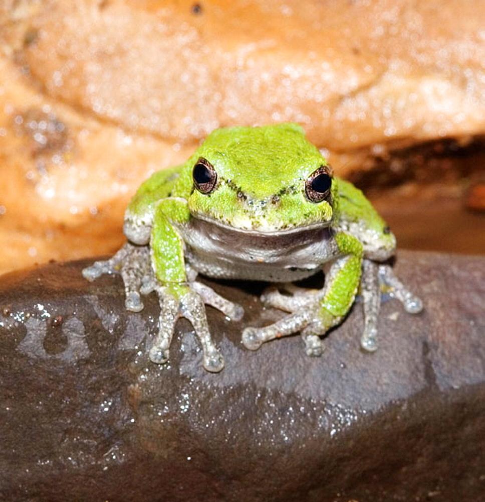 Common gray treefrog