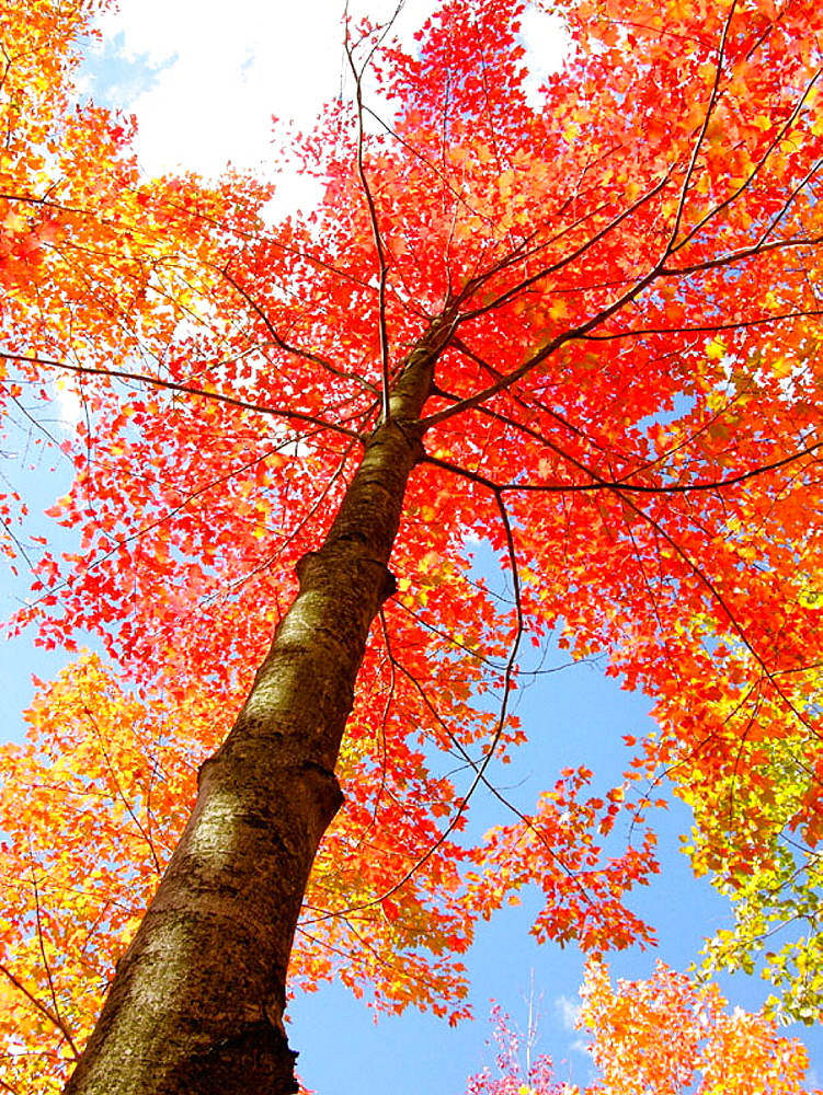 Colorful foliage turning during the autumn color season change in and around Port Huron, Michigan